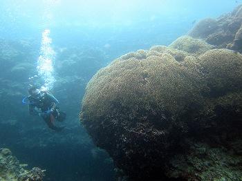 盆栽サンゴ