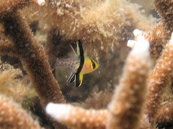 マンジュウイシモチ幼魚2