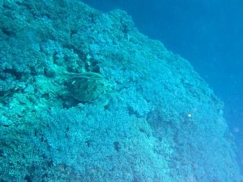 ウミガメ1