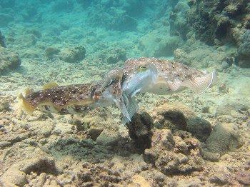 コブシメの交尾