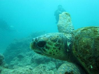 アカウミガメ1