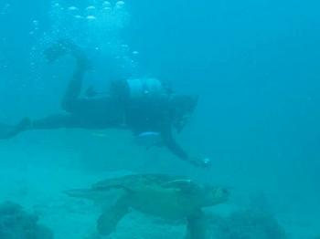 アカウミガメ2