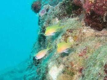 スミレナガハナダイ幼魚