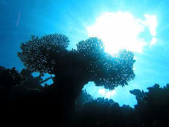 サンゴ01