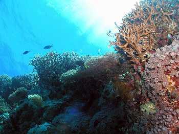サンゴ05