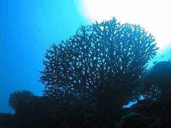 サンゴ07