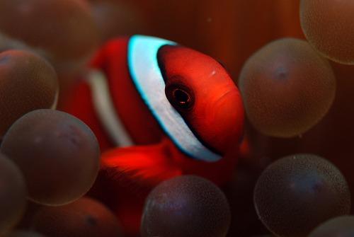 ハマクマノミ幼魚