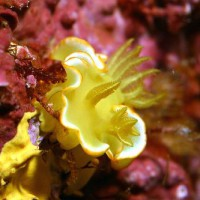 サフランイロウミウシ
