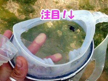 カサゴ幼魚3