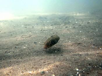 スジモヨウフグ幼魚1