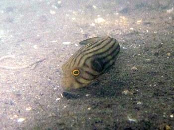 スジモヨウフグ幼魚2