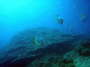 ハマサンゴ