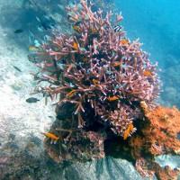 花束サンゴ