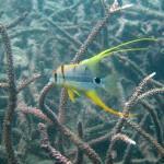 イレズミフエダイ幼魚2
