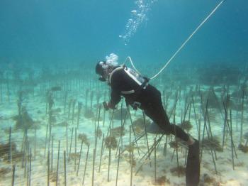 サンゴ移植2