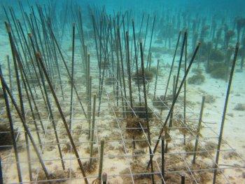サンゴ移植3