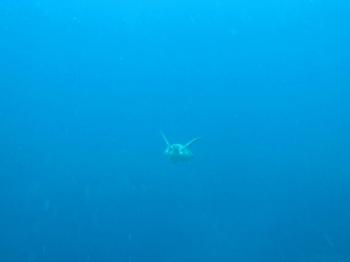 アオウミガメ2