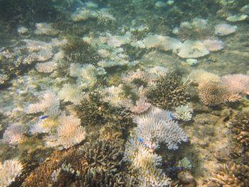 サンゴの白化1