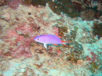 タテスジハタ 幼魚