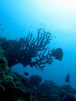 ナンヨウキサンゴ
