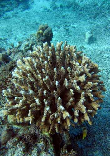 ヘラジカハナヤサイサンゴ