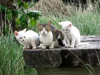 石垣島の猫