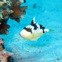 ゴマモンガラ幼魚