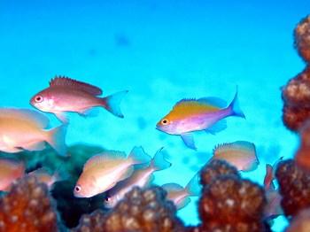 フタイロハナゴイ幼魚