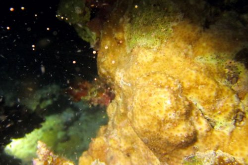 サンゴの産卵2