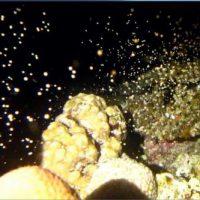 サンゴの産卵3