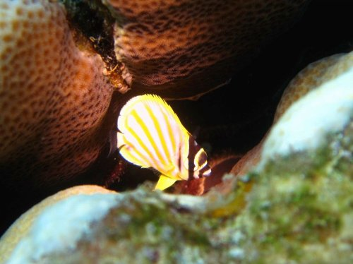 ハナグロチョウチョウウオ幼魚