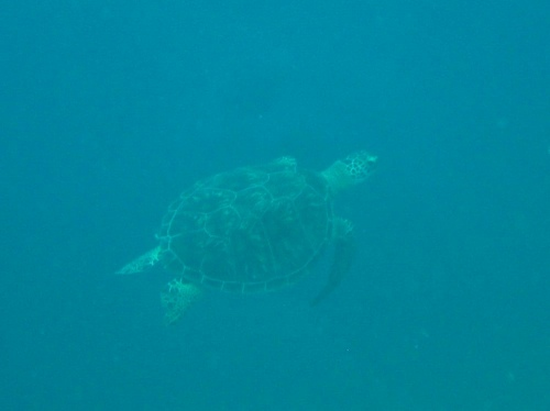 アオウミガメ4