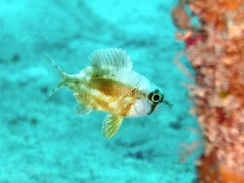 メイチダイの幼魚