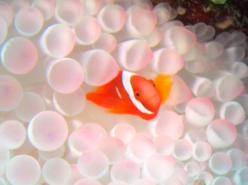ハマクマノミの幼魚