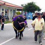 黒島牛祭り3