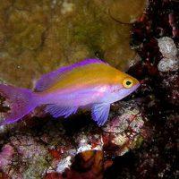 フタイロハナゴイの幼魚