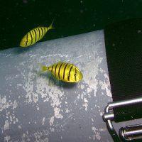 コガネシマアジの幼魚1