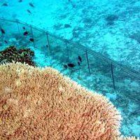 石西礁湖サンゴ礁保全活動