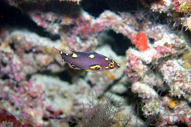 ケサガケベラの幼魚