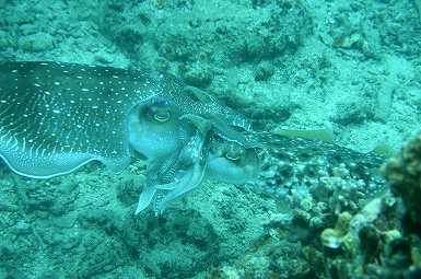 コブシメの交接1