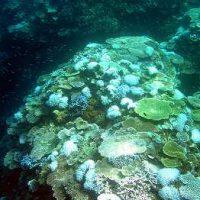 サンゴの白化