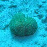 ハート型のサンゴ