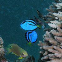 ナンヨウハギの幼魚