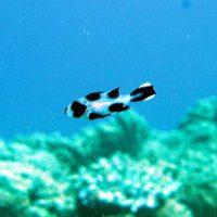マダラタルミの幼魚