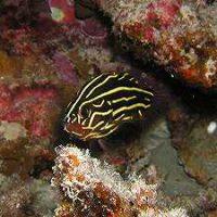 ヌノサラシの幼魚