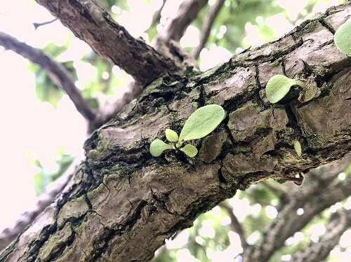 モンパノキの幹