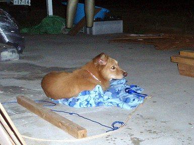 石垣島の捨て犬