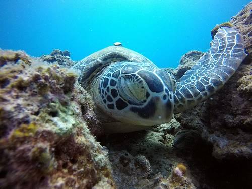 アオウミガメ1