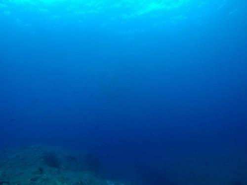 ブラックフィンバラクーダ