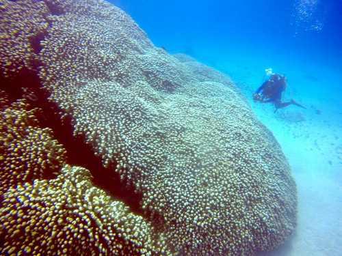ジャガイモサンゴ